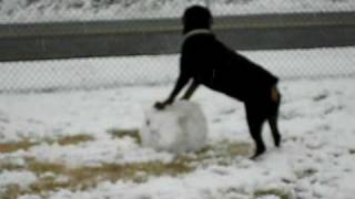 Rottweiler Making Snowball