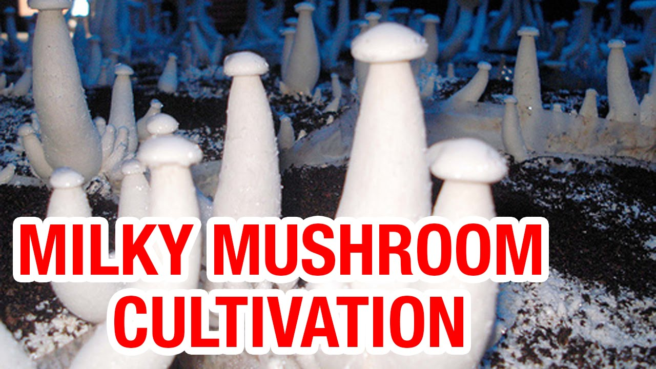 Milky Mushroom cultivation and latest technology for commercial farming |  Padi Pantalu
