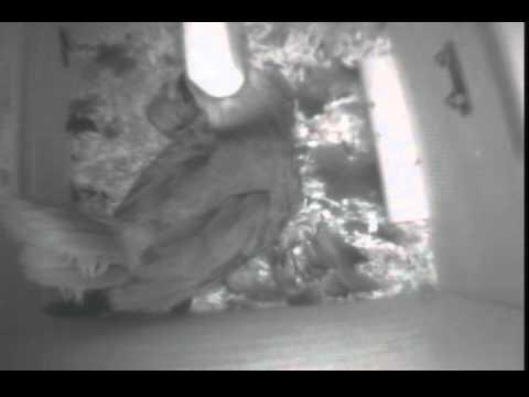 Mother Eclectus Parrot Feeding Babies