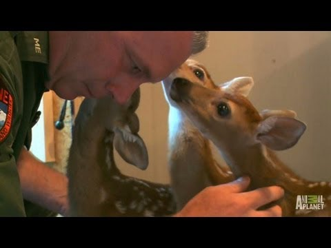 Oh, Deer. A Second Chance for Three Fawns   North Woods Law