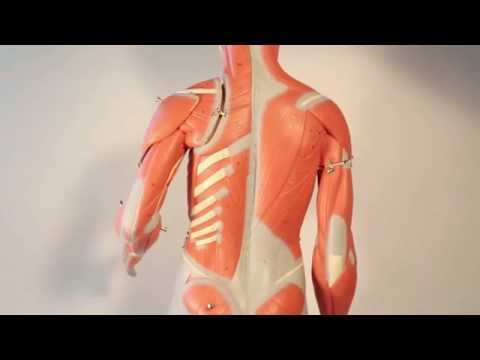 Muscles That Move the Arm   Humerus