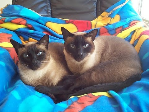 Malik & Mika: In Loving Memory Of My Beloved Siamese Twins Cats