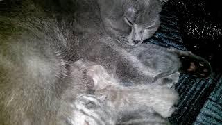 Британская кошка кормит своих новорожденных котят vivavideo