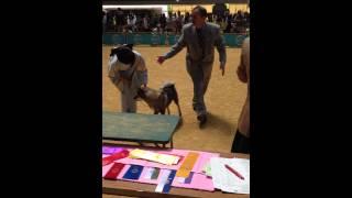 FCI近畿インターナショナルドッグショーに珍しく「四国犬」が出陳してて...