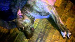 Got milk?! Dog breast feeding a cat