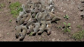 Pest Control with Air Rifles - Squirrel Shooting Family - Family Record (part 3)(Part 1 - https://youtu.be/FaL_BhXXInI Part 2 - https://youtu.be/2deZJnULs3A This is the 3rd and final part of one of our squirrel control outings. Please watch the ..., 2015-07-26T08:49:24.000Z)