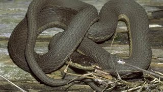 KY Wildlife Queen Snake And Northern Water Snake