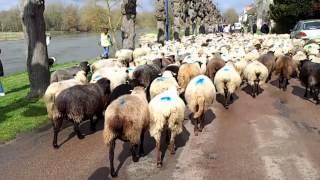 Vivez la transhumance des moutons de Sologne