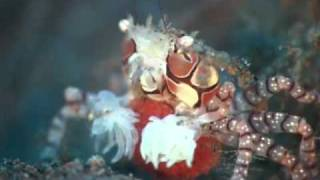 Boxing Crab Or Boxer Crab Or Pom Pom Crab Pregnant