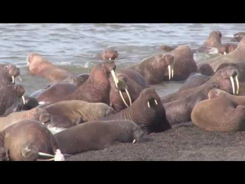 ♕ USGS Science: Walrus Haul-Out 2011  ♕