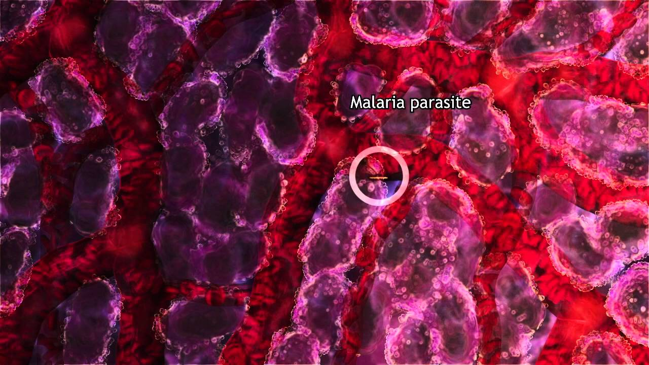 Download Malaria Lifecycle Part 1: Human Host (2016)