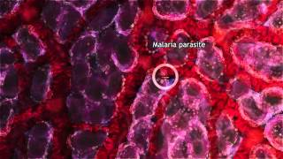 Malaria Lifecycle Part 1: Human Host (2016)