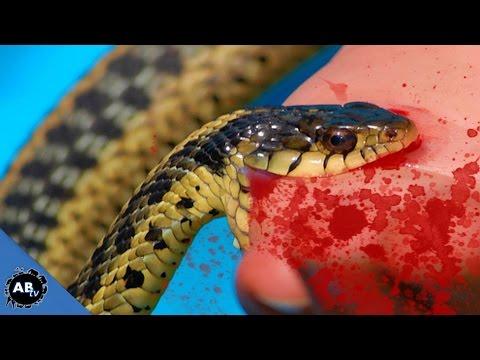 Snake Bites @ BHB Reptiles! SnakeBytesTV - Ep. 418