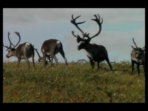 Tuttunnaiq Caribou Hunt
