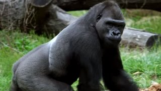 Gorilla Treeway