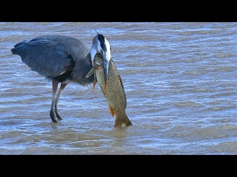 Great Blue Heron eats huge fish at  Bosque del Apache NWR