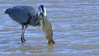 Great Blue Heron eats huge fish at  Bosque del Apache NWR