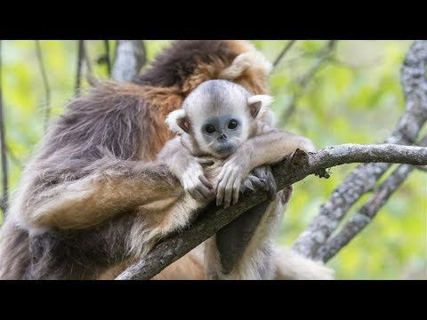 Meet adorable snub-nosed monkeys in Shennongjia, a UNESCO world heritage site in China (Part 2)