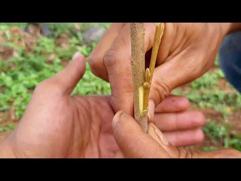Untuk Pemula Sisip Durian Cara Mudaho9f
