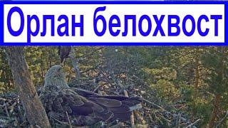 ОРЛАН - БЕЛОХВОСТ / папа всегда на чеку (видео №1)