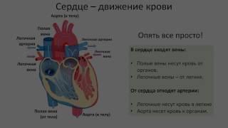12. Кровеносная система Сердце (8 класс) биология, подготовка к ЕГЭ и ОГЭ