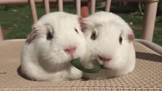 Одна травинка на двух морских свинок