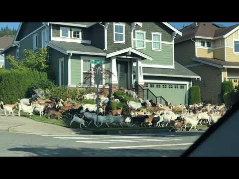 Alabama - Herd of Goats Loose in Issaquah