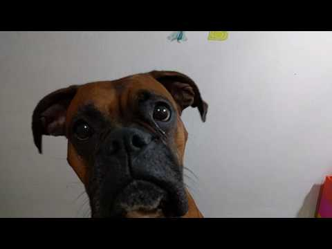 "Boxer dog say ""I Love you"""