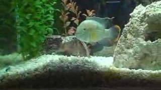 Green Terror eating Feeder Fish