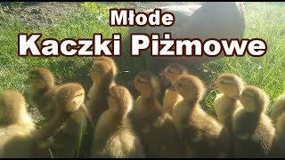 Młode kaczki piżmowe / Babies muscovy ducks
