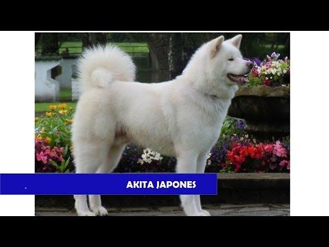 RAZAS DE PERROS AKITA JAPONES, AKITA KEN,JAPANESE AKITA,AKITA INU,ODATE INU, GRAN PERRO JAPONES