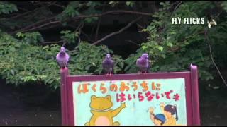 pigeon tells a joke