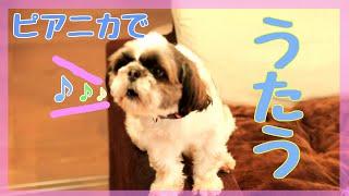 ピアニカで歌うシーズー!? Dog singing in melodeon♪
