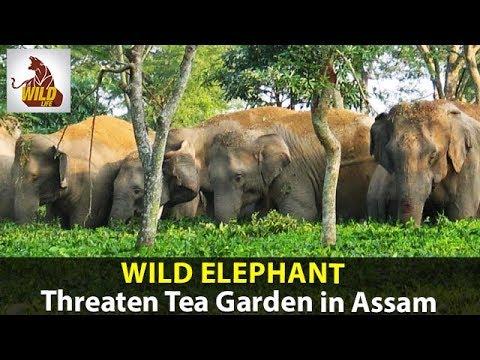Animal Videos | Wild Elephants Threaten Tea Garden in Assam | Elephant Videos | Dangerous Animals