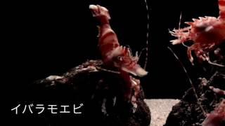 イバラモエビ(Lebbeus groenlandicus(Fabricius,1775)) タイムラプス動画