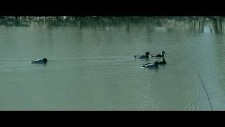 Фильм про диких уток / A documentary about the wild ducks