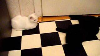 белая кошка черный кот махают лапами