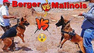 مواجهة بين كلب بيرجي الماني وكلب مالينوا الجزء الاول/BERGER ALLEMAND VS MALINOIS CHARBONNE