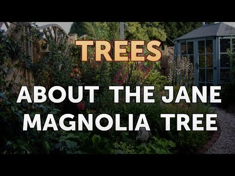 About The Jane Magnolia Tree Youtube