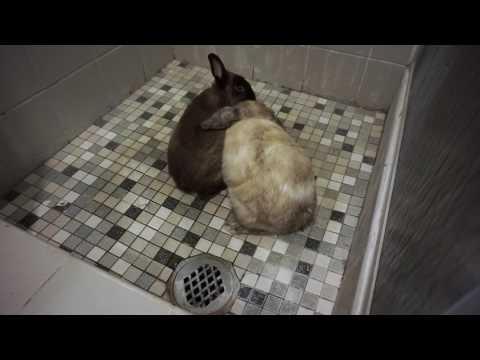 Bonding 2 adult male rabbits.