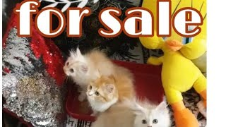 Semi punch Persian cat kitten for selling  in mumbai|punch face| spa|grooming |kittens