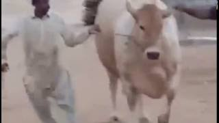 Dilpasand Cattle Farm Big Cow ready for 2016 Cow Mandi Pakistan