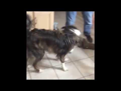Dog Chases Laser Pointer
