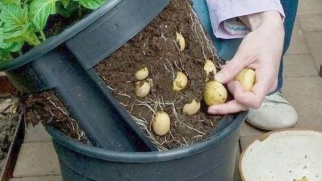 How to plant potatoes 25