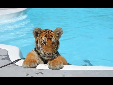 CUTEST Baby Tiger Videos That You Have To See
