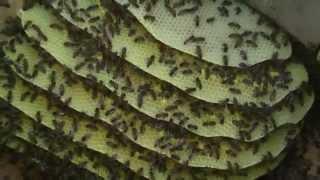 Колодное пчеловодство. Часть 5. Пчелиное умиротворение. ПРП Счастливое, Молдова.