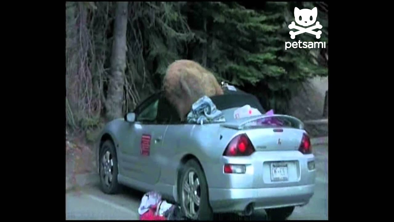 bear steals camping gear and leaves his mark youtube. Black Bedroom Furniture Sets. Home Design Ideas
