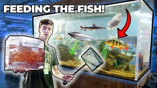 BIGGEST *PREDATOR* FISH FEEDING!!!