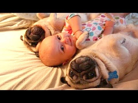 Pug Dog Playing With Baby Compilation