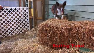 7 More Tips For Learning How To Barn Hunt With Your Dog! (Barn Hunting With A Cardigan Corgi)